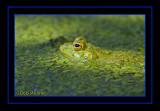 Bull Frog Lurking