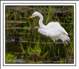 The Great White Egret Gallery