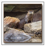A Playful River Otter (Lutra canadensis)