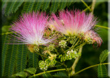 More Of The Beautiful Flowers On The Mimosa Tree