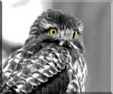A Juvenile Red-tail Hawk Portriat In Black & White