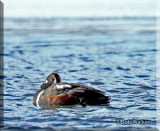 The Harlequin Duck Trying To Survive The Cold
