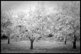 Trees at the Masseria
