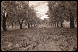 Olive Grove Italy