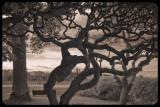 Trees of Otoranto