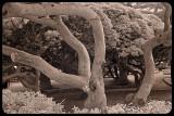More Otoranto Trees