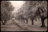 A walk through the olive grove
