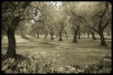 Olive grove with rock wall