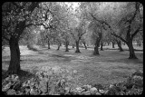 Olive grove with rock wall (b&w)
