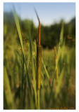 cattails along the creek
