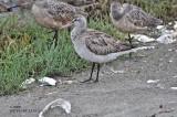 Bar-tailed Godwit 9/6/09