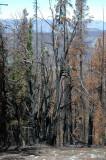 Burnt Trees on Tiffany