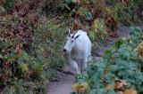 Goat Headed Towards Me