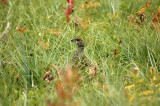 Grouse Hiding in Grass
