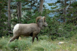 Another Ram