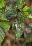 White fly infestation on a pepper plant. IMG_5302.jpg