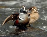 Duck Harlequin D-049.jpg