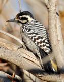 Woodpecker, Ladder-backed (female)