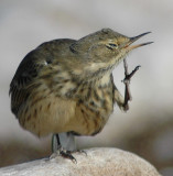 Pipit, American