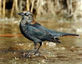 Blackbird, Rusty (Male)