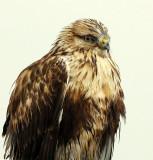 Hawk, Rough-legged (Casting Pellet)