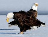 Eagles, Bald -- 2009