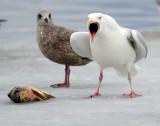 Gull, Glaucous