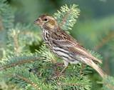 Finch, Cassin's  (Female)