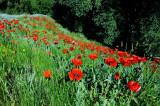 Mantua, Box Elder County, Utah,  Poppy's