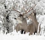 Deer, Mule(First Snow)