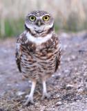Owl, Burrowing 12-23-2010