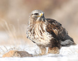 Hawk, Rough-legged (Willard Bay)