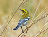 Warbler, Townsend's (9-13-2012)