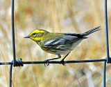 Warbler, Townsend's (first year male)