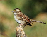 Sparrow,White-throated  (10/08/2012)