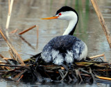 Grebe, Western and Clarks (Nest)