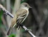 Flycatcher, Willow
