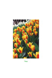 Tulips In A Border