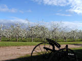 Apple Blossoms ~ Nova Scotia