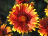 011 Indian blanket firewheel Gaillardia pulchella .JPG