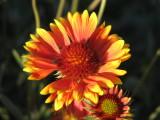014 Indian blanket firewheel Gaillardia pulchella .JPG