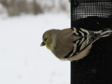 086 American goldfinch.JPG
