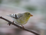 003.JPG American goldfinch