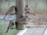 004.JPG House wrens on feeder