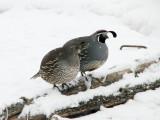 003_1 California quail.jpg
