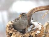 048 _1White-crowned sparrow.jpg