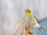056_1 American goldfinch.jpg