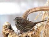 059_1 Song sparrow.jpg
