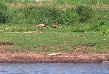 Ring-neck pheasants