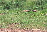 Rooster pheasants